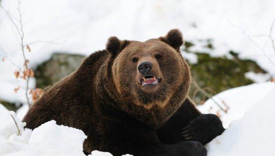 Губернатора-коммуниста СМИ обвинили в убийстве медведя в берлоге