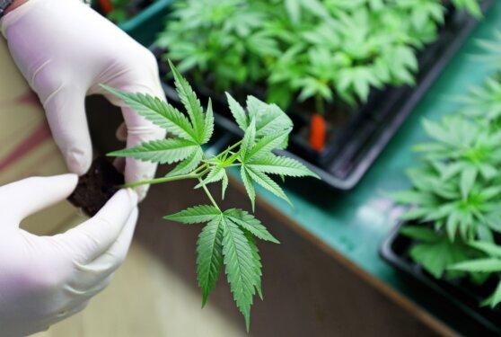 В России легально начнут выращивать опийный мак и марихуану