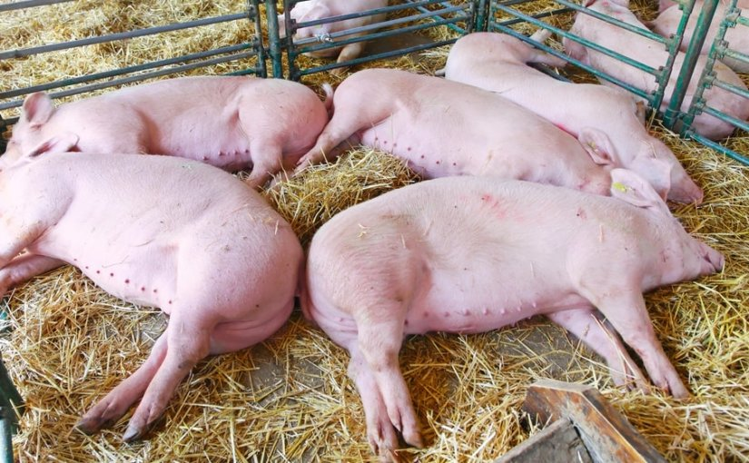 Ящур сгубил полтысячи свиней в Приморье