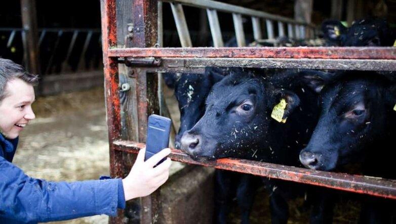 Коровы, телефон