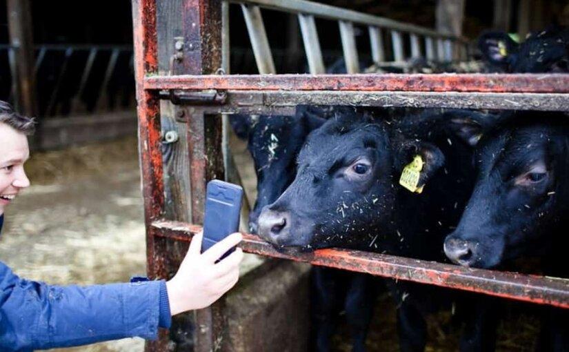 Доильный зал будущего: в Англии технологию 5G тестируют на коровах
