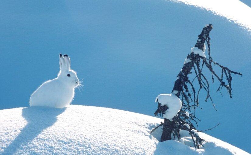 Снегопад вынудил зайцев искать еду во дворах жителей Москвы