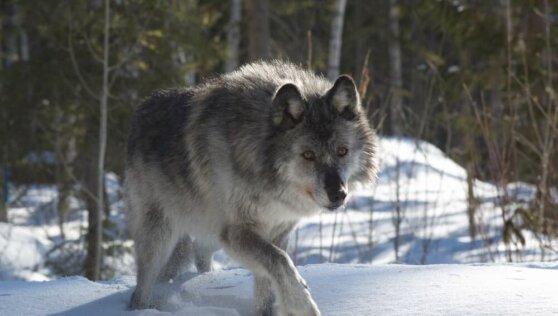 Минприроды подсчитало ежегодный ущерб от волков