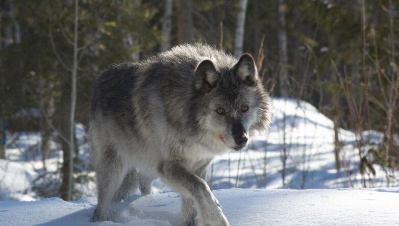Серый волк, зима, лес