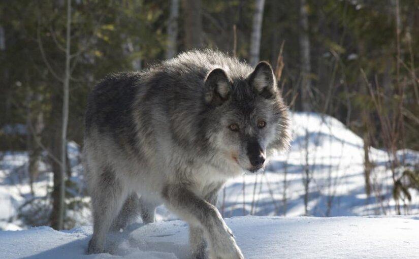 Жители Архангельской области столкнулись с нашествием волков