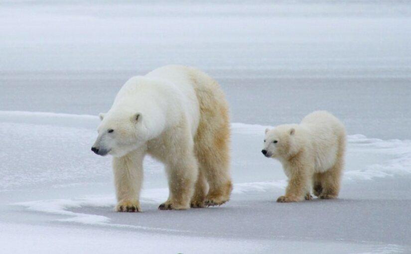 На Новой Земле пока не разрешают отстреливать белых медведей, терроризирующих поселки