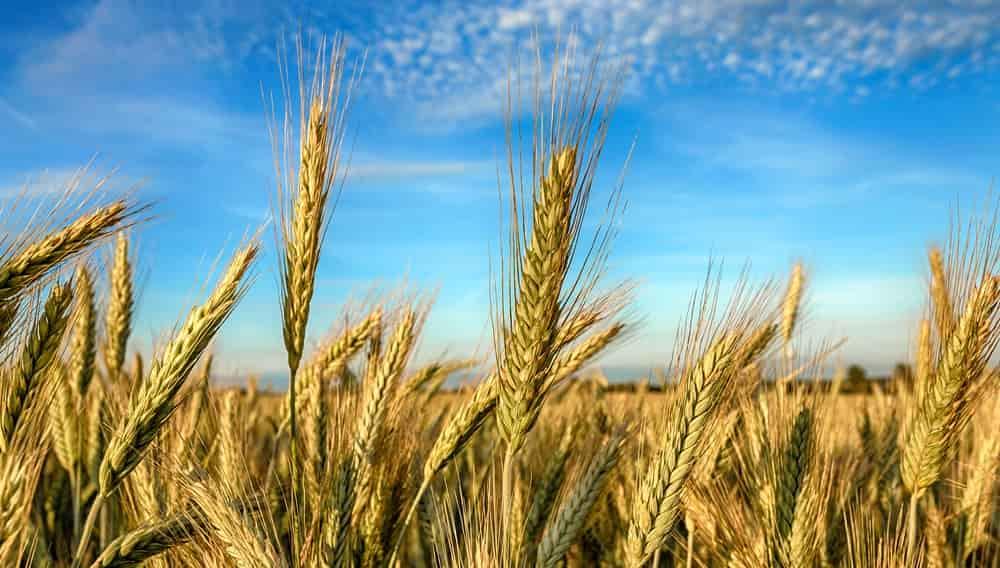 Рожь, зерно, поле, сельское хозяйство, хлеб