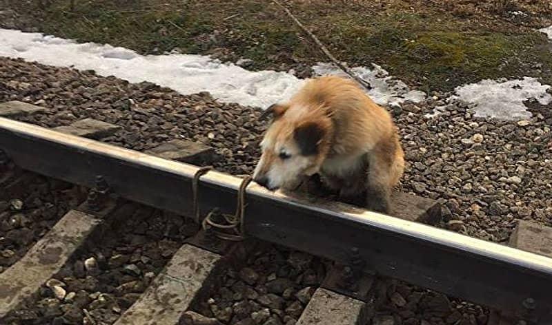 Собака, привязанная к рельсам у станции Антропшино в Гатчинском районе