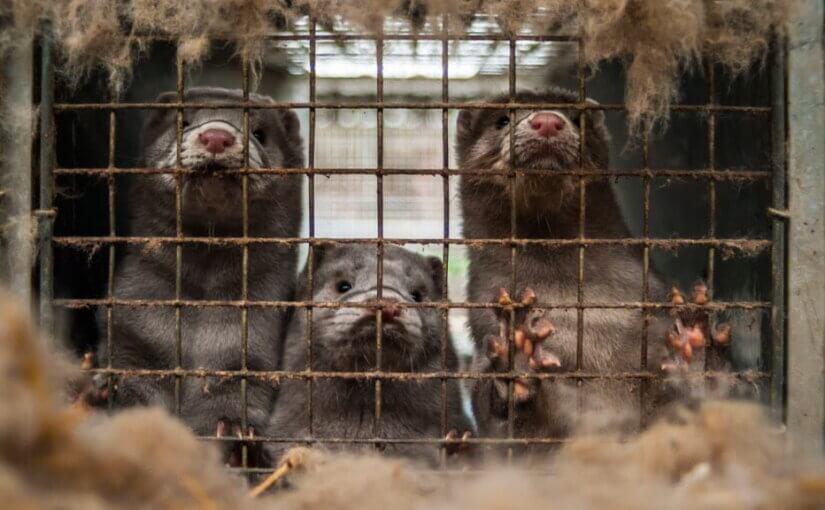 В Prada отказались от использования меха животных в своих коллекциях
