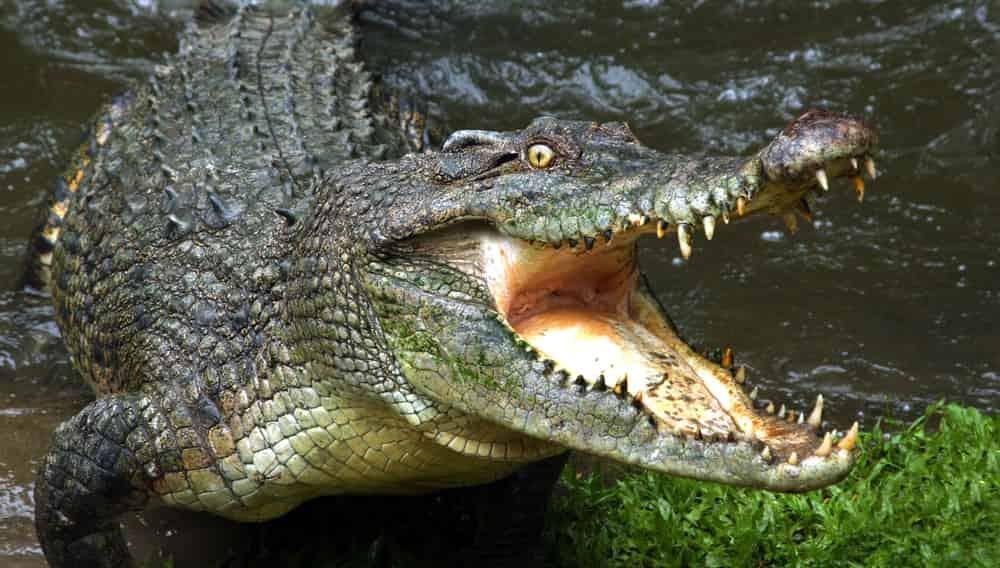 Уснувший на пляже рыбак проснулся в пасти крокодила
