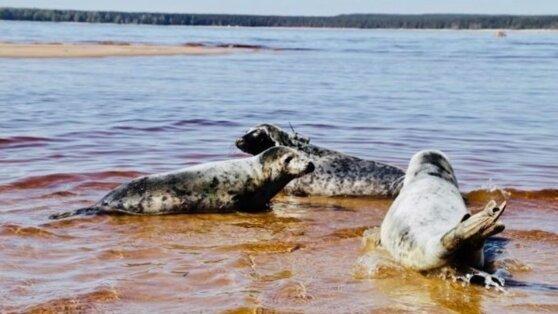 Камчатские тюлени попали под усиленный надзор