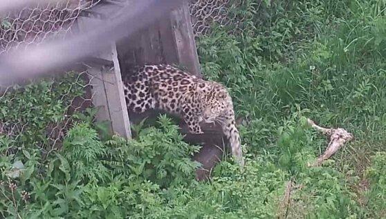 Спасенный в Приморье леопард начал охотиться на кроликов