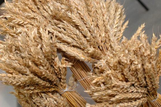 Поставки пшеницы из Приморья в КНДР за полгода выросли в 28 раз