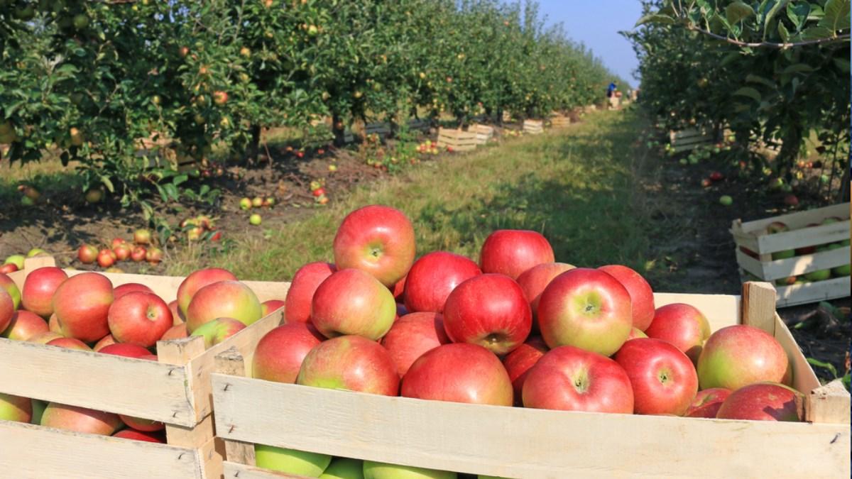 Рекордный урожай яблок не спас от резкого подорожания