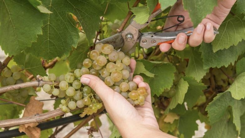 В Севастополе собран рекордный урожай винограда
