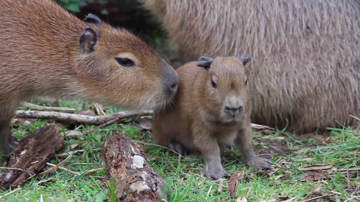 В новозеландском зоопарке родился детёныш крупнейшего в мире грызуна