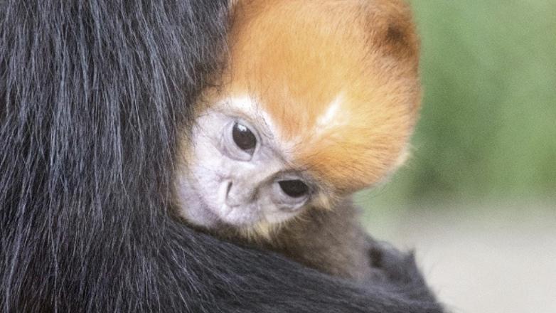 новорожденный тонкинский гульман