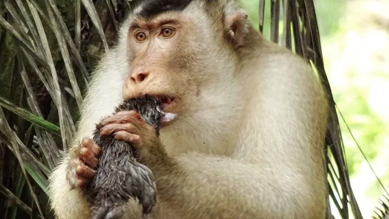 Поедающие крыс макаки поставили ученых в тупик