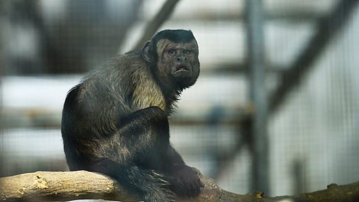 Зоопарк решил найти жену пожилому примату с человеческим лицом