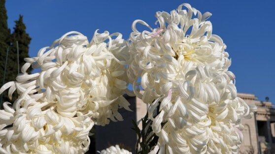 В ботаническом саду Крыма выбрали королеву Бала хризантем