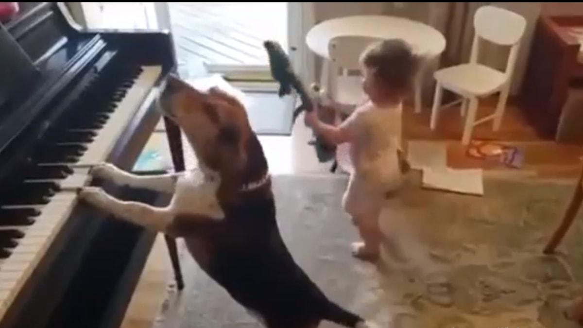 В сети набирает популярность ролик с псом-пианистом