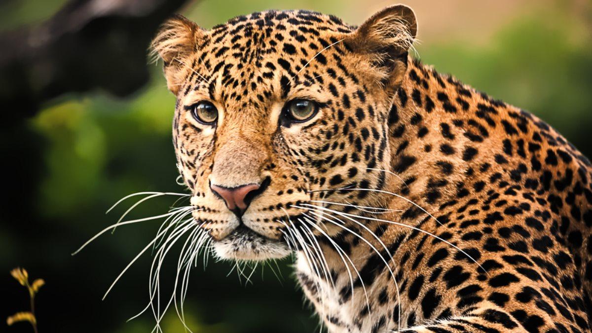В Кении туристы сняли на видео схватку леопарда с питоном