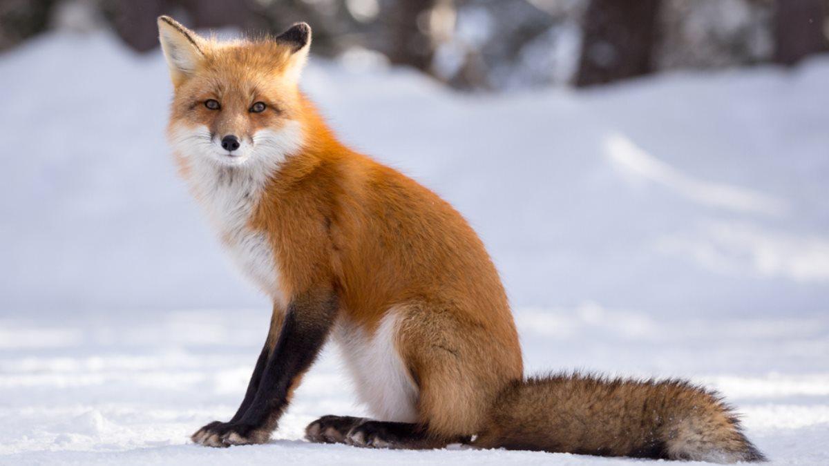 Ямальцы выбирают имя дружелюбной лисе