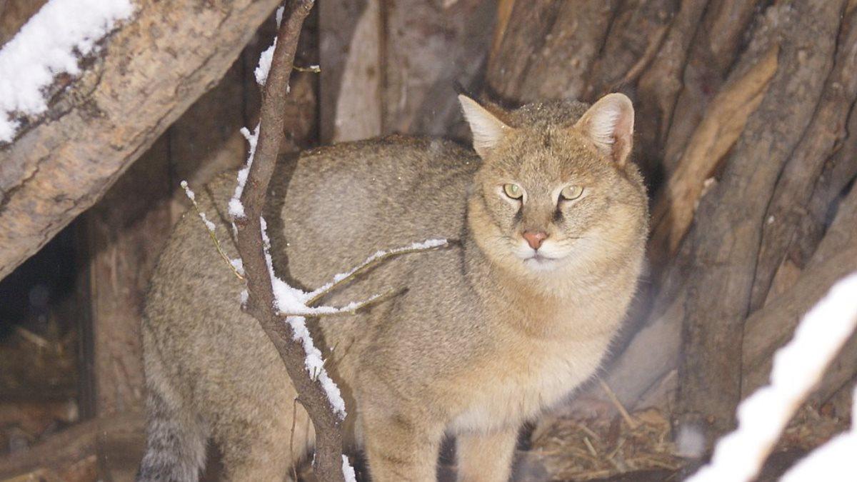 Видео набега огромного кота на курятник распространяют в Башкирии