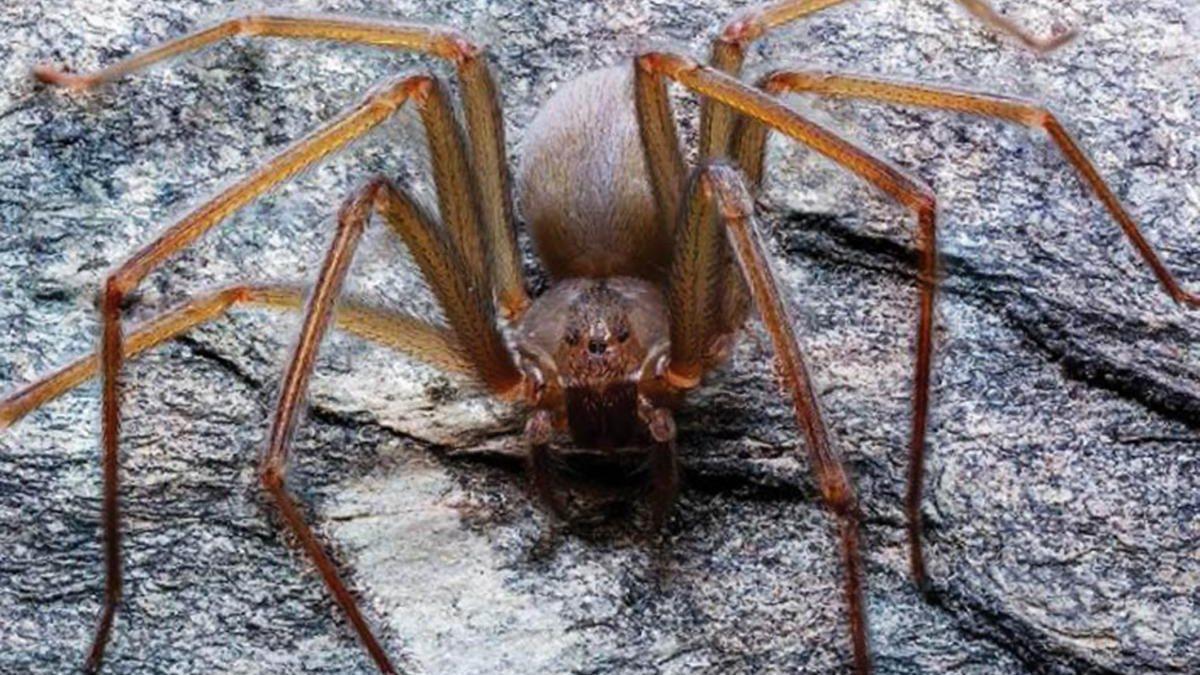 Ученые нашли паука с приводящим к некрозу укусом