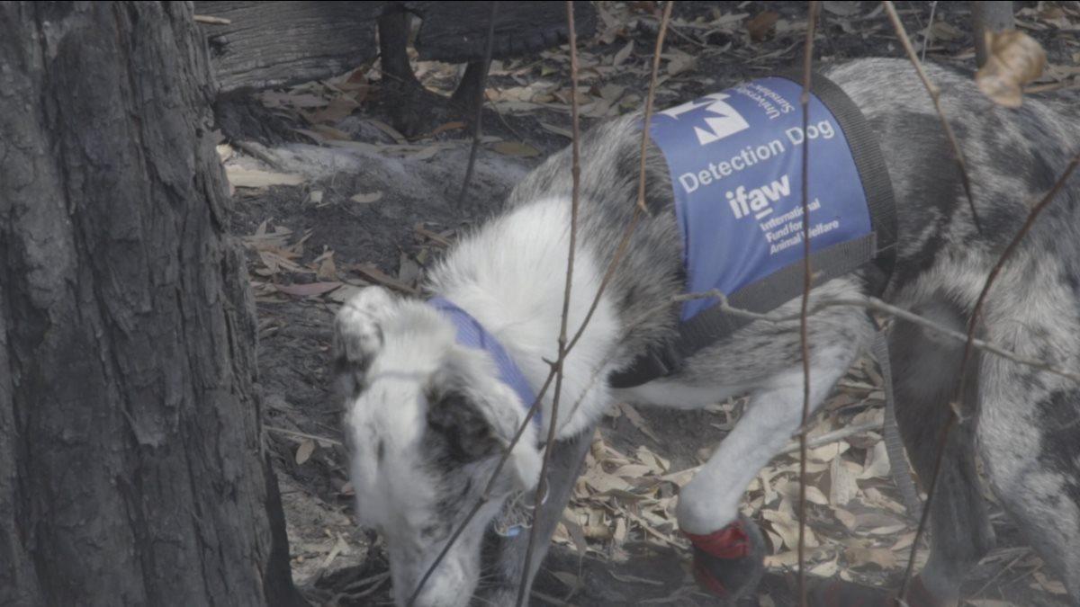 Бездомный пёс научился спасать коал из пожаров