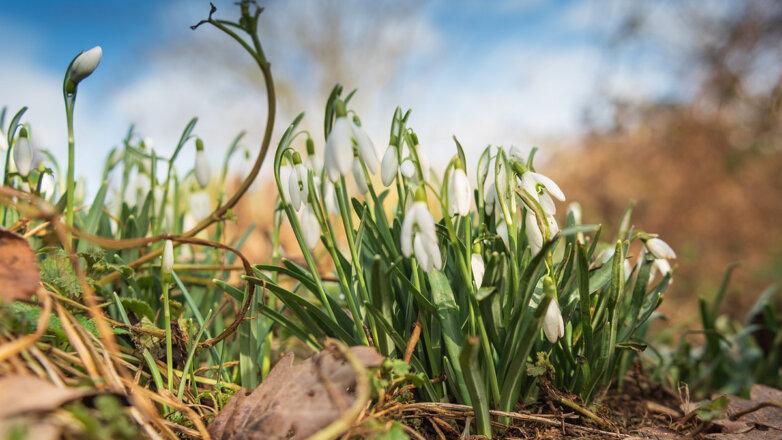 Подснежники Весна Цветы