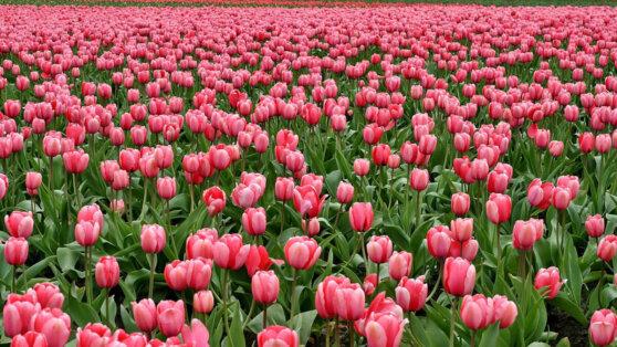 Ботанический сад Крыма провел Парад тюльпанов онлайн