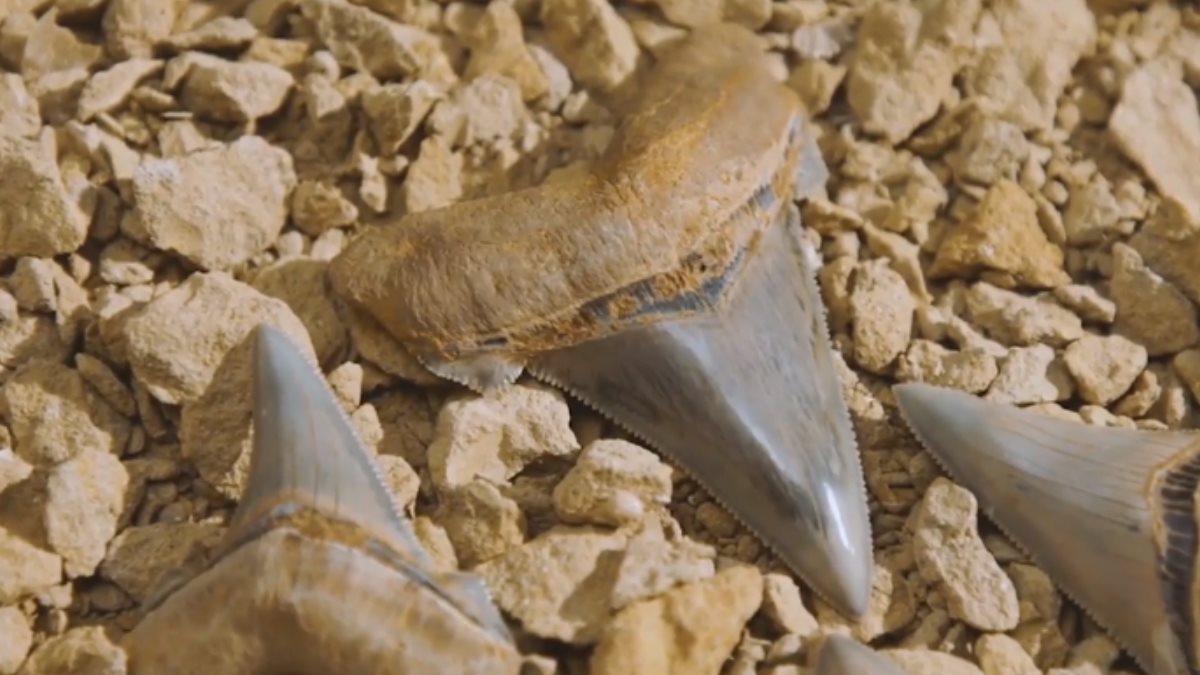 Зубы мегалодона