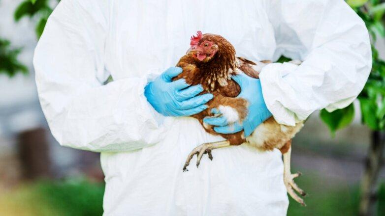 H5N1 птичий грипп курица вирус пандемия