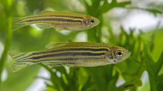 Биологи выявили половой гормон у рыб