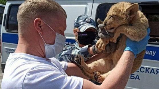 В направлявшемся в Москву автобусе нашли истощенного львенка