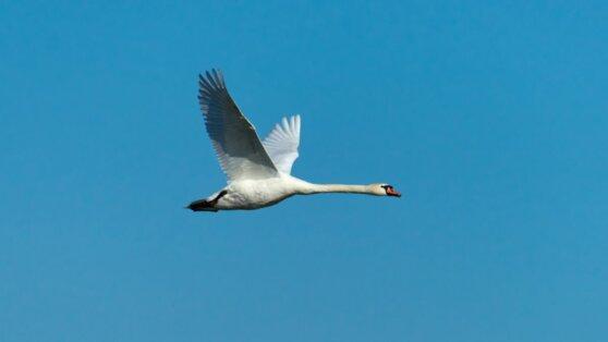 Жители Калмыкии спасли стаю лебедей