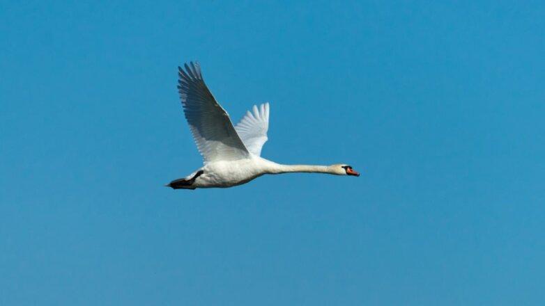 Лебедь-шипун летит