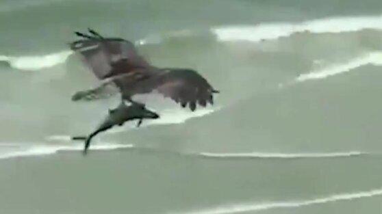Схвативший из моря акулу орел попал на видео