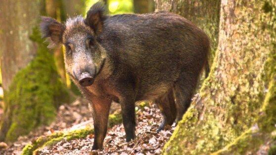 В Приморье впервые обнаружили африканскую чуму свиней у диких животных