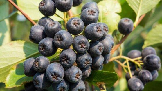 Названа ягода, защищающая от «тихого убийцы»