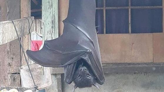 На Филиппинах нашли летучую мышь «размером с человека»