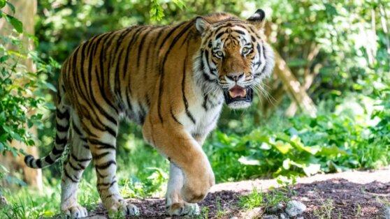 Амурская тигрица в Цюрихе насмерть загрызла сотрудницу зоопарка