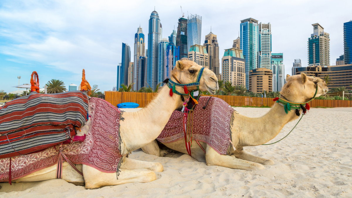 ОАЭ Дубай туризм Объединенные Арабские Эмираты верблюды