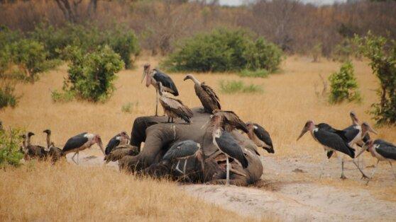 Стала известна возможная причина загадочной гибели слонов в Африке