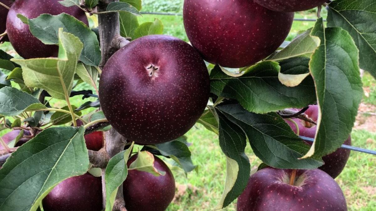 Австралийские яблоки сорта Bravo Браво