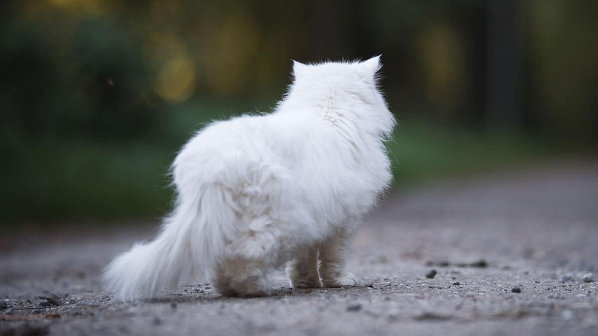 Белый персидский кот смотрит на лес