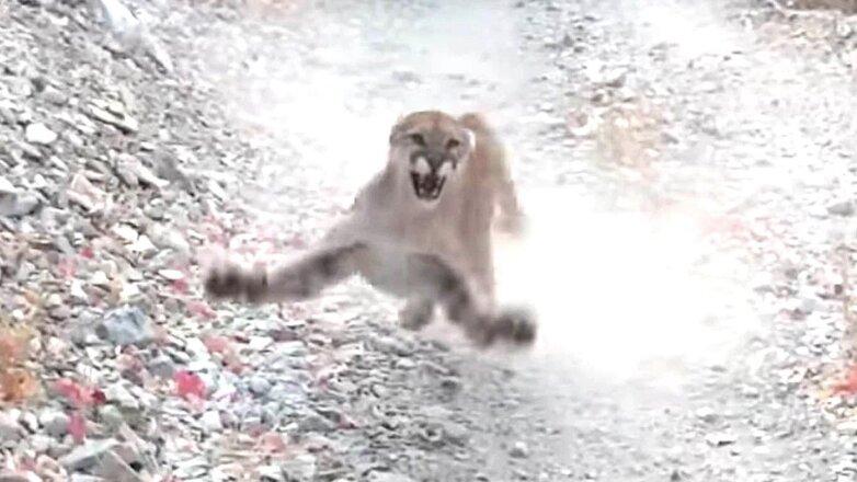 кугуар атакует