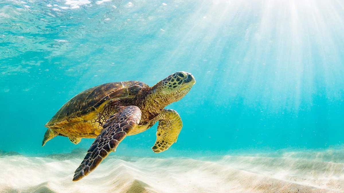 Черепаха плывет океаны Земля