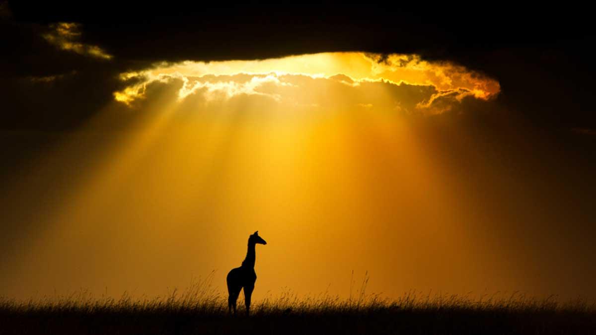Жираф солнце тень природа